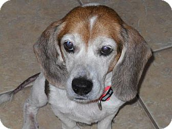 Beagle Dog for adoption in Tampa, Florida - Marshall
