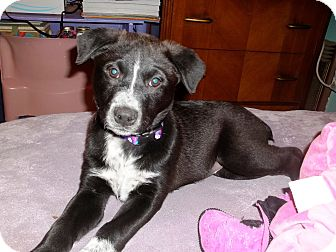 Australian Cattle Dog/Labrador Retriever Mix Puppy for adoption in Groton, Massachusetts - Princess Tea Pot