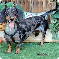 Adopt A Pet :: Shadow - Chandler, AZ