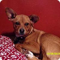 Adopt A Pet :: Roo - mooresville, IN