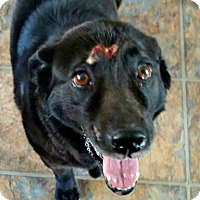 Adopt A Pet :: Sheba - Chesapeake, VA