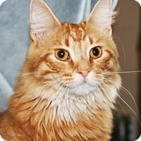 Domestic Longhair Cat for adoption in O Fallon, Illinois - Simba