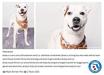 Jack Russell Terrier Mix Dog for adoption in Pompano Beach, Florida - Jersey