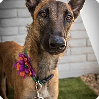 Adopt A Pet :: Sansa - Phoenix, AZ