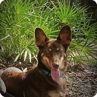Adopt A Pet :: Harvey - Weeki Wachee, FL