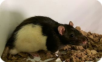 Rat for adoption in Cambridge, Ontario - Walnut