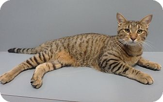 Domestic Shorthair Cat for adoption in Seguin, Texas - Boone