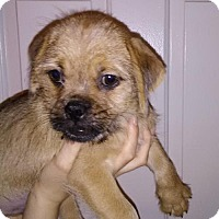 Pug/Yorkie, Yorkshire Terrier Mix Puppy for adoption in Orlando, Florida - Rickon