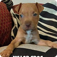 American Pit Bull Terrier/Rottweiler Mix Puppy for adoption in Des Moines, Iowa - Killer Croc
