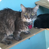 Domestic Longhair Cat for adoption in Woodward, Oklahoma - Buster