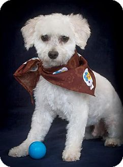 Maltese Dog for adoption in Phelan, California - Spensor