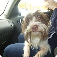 Adopt A Pet :: Rambo - Glastonbury, CT