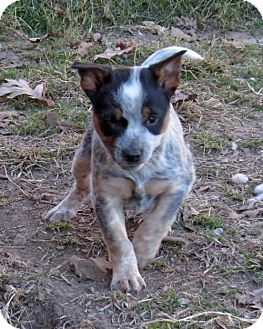 Beagle/Australian Cattle Dog Mix Puppy for adoption in Towson, Maryland - Star