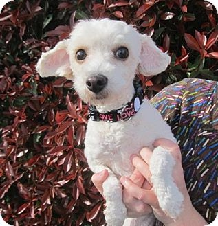 Poodle (Toy or Tea Cup) Mix Dog for adoption in Kingwood, Texas - Lauren