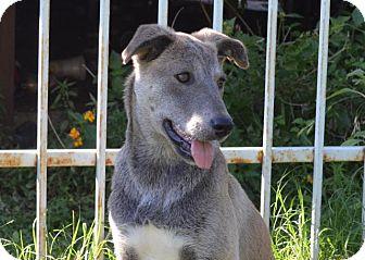 German Shepherd Dog/Labrador Retriever Mix Puppy for adoption in Austin, Texas - Koala