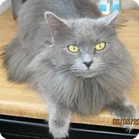 Domestic Longhair Cat for adoption in Belleville, Michigan - Natasha