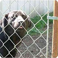 Labrador Retriever Dog for adoption in Chattanooga, Tennessee - Running Bear
