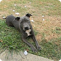 Pit Bull Terrier Dog for adoption in Rossville, Tennessee - Blue
