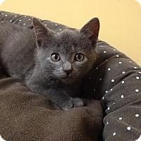 Adopt A Pet :: Henry - Island Park, NY
