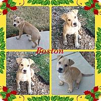 Adopt A Pet :: Boston Adoption pending - Manchester, CT
