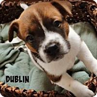 Adopt A Pet :: Dublin - Thompson's Station, TN