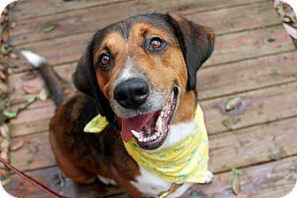 Hound (Unknown Type)/Golden Retriever Mix Dog for adoption in Odessa, Florida - Maybell