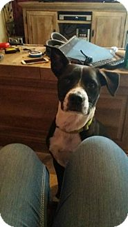 Labrador Retriever/Boxer Mix Dog for adoption in Bloomington, Illinois - Rousey