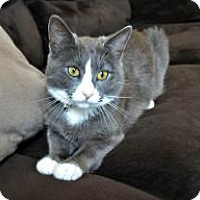 Domestic Shorthair Cat for adoption in Mission Viejo, California - Silvie
