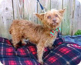 Norwich Terrier Mix Dog for adoption in Darlington, South Carolina - Jordan - SENIOR