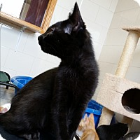 Domestic Shorthair Kitten for adoption in Chippewa Falls, Wisconsin - Numite