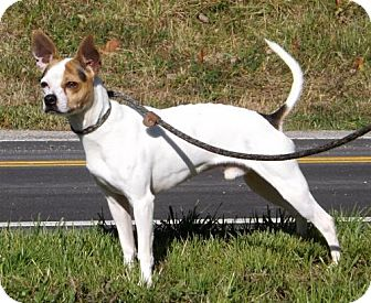 Rat Terrier/Chihuahua Mix Dog for adoption in Batavia, Ohio - Jersey