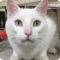 Domestic Shorthair Cat for adoption in Norwalk, Connecticut - Toulouse