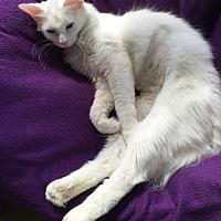 Domestic Mediumhair Cat for adoption in Battle Creek, Michigan - Valerie