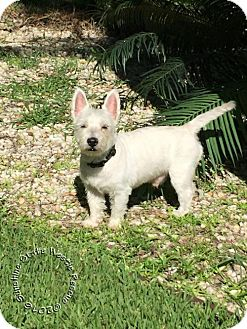 Westie, West Highland White Terrier Dog for adoption in Ponte Vedra Beach, Florida - Willy