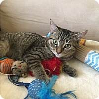 Domestic Shorthair Kitten for adoption in Los Angeles, California - Krystal