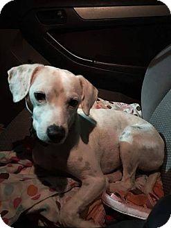 Dalmatian Dog for adoption in Houston, Texas - Dali