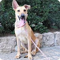 Labrador Retriever Mix Puppy for adoption in Castro Valley, California - Blanche