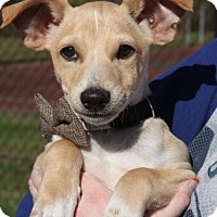 Adopt A Pet :: Curley in CT - Manchester, CT
