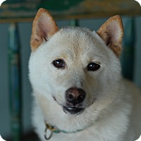 Adopt A Pet :: Hachi - San Antonio, TX