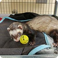 Adopt A Pet :: YOKI - Boston, MA