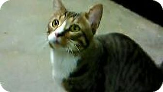 Maine Coon Cat for adoption in New York, New York - Cooper