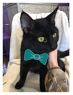 Domestic Shorthair Kitten for adoption in Paducah, Kentucky - Lonestar