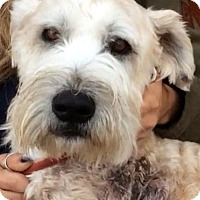 Wheaten Terrier Dog for adoption in Los Angeles, California - UTAH (video)