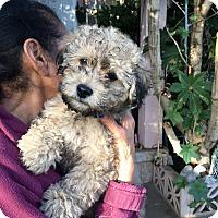 Adopt A Pet :: HoneyBee - Thousand Oaks, CA