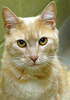 Domestic Mediumhair Cat for adoption in Newland, North Carolina - Harvest