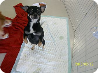 Chihuahua Dog for adoption in Daleville, Alabama - 8ball