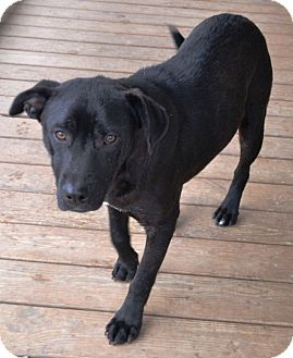 Labrador Retriever Mix Dog for adoption in Allentown, Pennsylvania - Sparticus