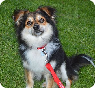Pomeranian/Collie Mix Dog for adoption in Los Angeles, California - Max