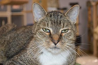 Domestic Shorthair Cat for adoption in House Springs, Missouri - Kermit