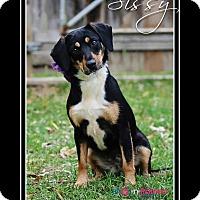 Adopt A Pet :: Sissy - Delaware, OH